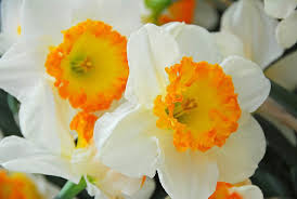 narcissus accent large cupped daffodil