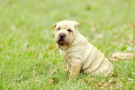 Do Shar Pei Lab Mix Shed by Chinese Shar Pei Dog Breed Information Pictures Characteristics