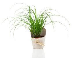 ziergras als zimmerpflanze diese arten eignen sich