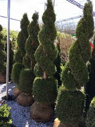 Fresh Christmas Trees Types by Topiary Trees Topiary Forms Live U0026 Artificial Indoor U0026 Outdoor