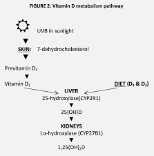 the role of vitamin d in older adults dietetically speaking