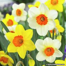 large cupped daffodil bulbs mix american