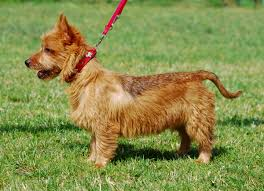 Non Shedding Small Dogs Australia by Dog Contest Toby Of Australian Terrier Breed Dog Breed Plus