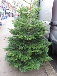 Nordmann Fir Christmas Trees Wholesale by Wednesday Weed U2013 Nordmann Fir Bug Woman U2013 Adventures In London