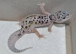 Do Baby Leopard Geckos Shed by Mack Enigma Het Eclipse Poss Het Bell Leopard Gecko By Ghoulish