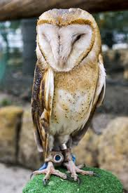 White And Brown Barn Owl Free Image | Peakpx White And Brown Barn Owl Free Image Peakpx Sd Falconry Barn Owl Box Tips Encouraging Owls To Nest Habitat Diet Reproduction Reptile Park Centre Stock Photos Images Alamy Bird Of Prey Tyto Alba Video Footage Videoblocks Barn Owl Tyto A Heart Shaped Face Buff Back Wings Bisham Group Bird Of Prey Clipart Pencil In Color British Struggle Adapt Modern Life Birdguides Beautiful Owls Pulborough Brooks The