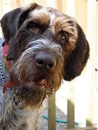 Griffon German Wirehaired Pointer Shedding by Seattle Purebred Dog Rescue