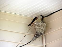 Barn Swallow Nest At The Visitors Center At Blackwater. « FOX News ... Barn Swallow Hirundo Rustica Fledgling In Nest Stock Photo Chicks Almost Ready To Leave The The Life Of Filebarn Fledglings Nestling Siblings Near Its Three Young Hatchling Nests Seasons Flow Bird Nests A Website On Birds World Nestlings Nestwatch Sauvie Island 30 May 2013 John Rakestraw Words Birds Cservation And Research British Columbia