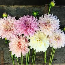 dahlia tubers for sale buy flower bulbs in bulk save