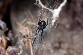 Remains Of The Day Spiders by Spiders Yuma Pest