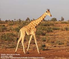 The Endangered West African Giraffes Live Outside Of Protected Areas Near Villages Close To Nigers Capitol