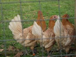 Some Chamois Friesian Fowl Hens | Poultry | Pinterest | Friesian 14 Best Chicken Breeds Images On Pinterest Grandpas Feeders Automatic Feeder Standard 20lb Feed Backyard Chickens Norfolk Va 28 Run Selling Eggs From Uk My Marans Red Pyle Brahmas And Other Colours Backyard Chickens Page 53 Of 58 Backyard Ideas 2018 Derbyshire Redcaps Uk Cleaning Stock Photos Images Quietest Breeds Uk With Quiet Coop How To Keep Your Hens Laying All Winter Long Top 5 Tips A Newbie The