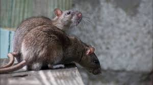 How To Get Rats/ Mice Out Of Your Home Without Killing Them - YouTube Mice How To Identity And Get Rid Of In The Garden Home Rats Guaranteed 4 Easy Steps Youtube Does Peppermint Oil Repel Yes Best 25 Getting Rid Rats Ideas On Pinterest 8 Questions Answers About Deer Hantavirus Mouse Control To Of In The Keep Away From Bird Feeders Walls 2 Quick Ways That Work Get Rid Of Rats Using This 3 Home Methods Naturally Dangers Rat Poison Dr Axe Out Your Without Killing Them