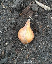 how to plant onions to get big bulbs