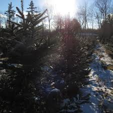 Bethlehem Lights Christmas Trees Troubleshooting by Why New Hampshire U0027s Tiny Christmas Tree Industry Thrives New