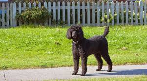 Non Shed Dog Breeds Hypoallergenic by 10 Hypoallergenic Dogs You Can Keep At Home