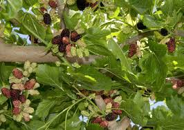 Teas Weeping Mulberry Morus Alba Pendula WHERE TO BUY