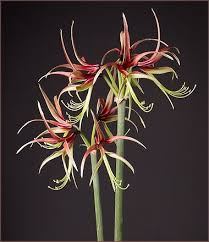 55 best amaryllis flower bulbs images on cut flowers