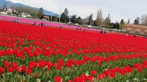 skagit valley tulip festival picture of roozengaarde display