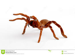Do Tarantulas Shed Their Fangs by Tarantula Fangs Stock Photo Image Of Spider Scary Tarantula