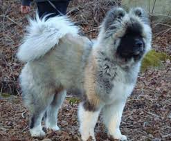 do haired akitas shed 25 best coat akitas images on japanese akita