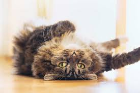 Cat Behavior 17 Things Your Cat Wants to Tell You