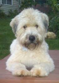 103 best soft coated wheaten terrier images on pinterest