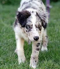 Do Blue Heeler Border Collies Shed by Border Collie Wikipedia