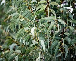 eukalyptus pflanzen und pflegen mein schöner garten