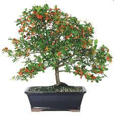 bonsai tree bamboo plants indoor outdoor pots and tools