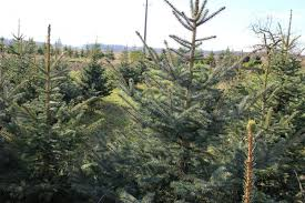 Fraser Fir Christmas Trees Care by How To Pick The Perfect N C Christmas Tree Charlotte At Home