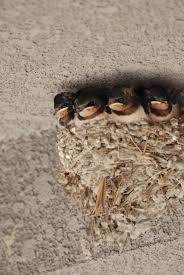 File:Barn Swallow Nest In Japan.jpg - Wikimedia Commons Barn Swallow Hirundo Rustica Fledgling In Nest Stock Photo Chicks Almost Ready To Leave The The Life Of Filebarn Fledglings Nestling Siblings Near Its Three Young Hatchling Nests Seasons Flow Bird Nests A Website On Birds World Nestlings Nestwatch Sauvie Island 30 May 2013 John Rakestraw Words Birds Cservation And Research British Columbia