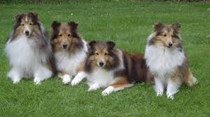Sheltie Shedding In Clumps by Sheepdog Vs Australian Shepherd