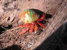 Do Hermit Crabs Shed by Reptile City Strawberry Hermit Crab Sm Med