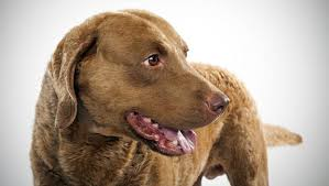 Chesapeake Bay Retriever Vs Lab Shedding by Chesapeake Bay Retriever Dog Breed Selector Animal Planet