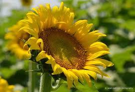 Greenbrier Farms Pumpkin Patch Chesapeake Va by Carol Mattingly Photography Sunflowers Batey Farms