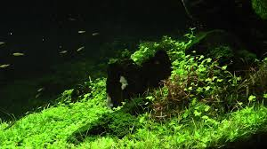 Reciprocity Aquascape 1 Year Old By James Findley - YouTube The Green Machine Aquascaping Shop Aquarium Plants Supplies Photo Collection Aquascape 219 Wallpaper F Amp 252r Of The Month October 2009 Little Hill Wallpapers Aquarium Beautify Your Home With Unique Designs Design Layout New Suitable Plants Aquariums Pinterest Pics Truly Inspired Kinds Ornamental Aquascaping Martino Agostini Timelapse Larbre En Mousse Hd Youtube Beauty Of Inside Water Garden Inspirationseekcom Grass Flowers Beautiful Background