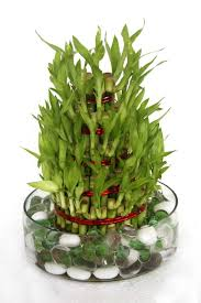 entretien des bambous en pot superbe table de jardin carre 16 bambou en pot et lucky bambou