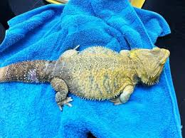 yellow skin disease in bearded dragons welcome to richmond vets