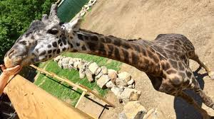 Emmaus Halloween Parade Route by Lehigh Valley Zoo Donates Over 11 000 To Giraffe Conservation Wfmz