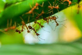 rote ameisen natürlich bekämpfen oder erfolgreich umsiedeln