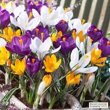 crocus bulb mix crocus vernus and crocus flavus