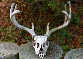 Deer Antler Shedding Cycle by Vol 1 No 42 Antlers Hungry Naturalist