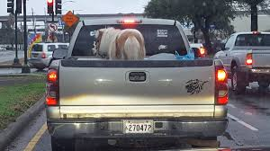 Humane Society Requesting Investigation Of Pony Transported In Back ...
