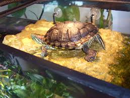 Snapping Turtle Shell Shedding by Red Eared Slider Turtle Facts Habitat Diet Pet Care Pictures