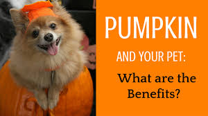 Pumpkin For Dog Constipation by Pumpkin And Your Pet What Are The Benefits Msah Metairie