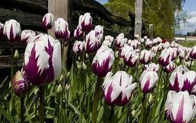 how to grow tulips telegraph