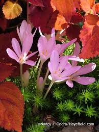 26 best fall blooming bulbs images on bulb bulbs and