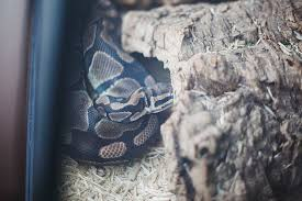 signs that a ball python is going to shed my pet python