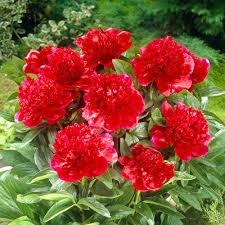 Bloomsz Red Charm Peony Roots 3 Pack The Home Depot